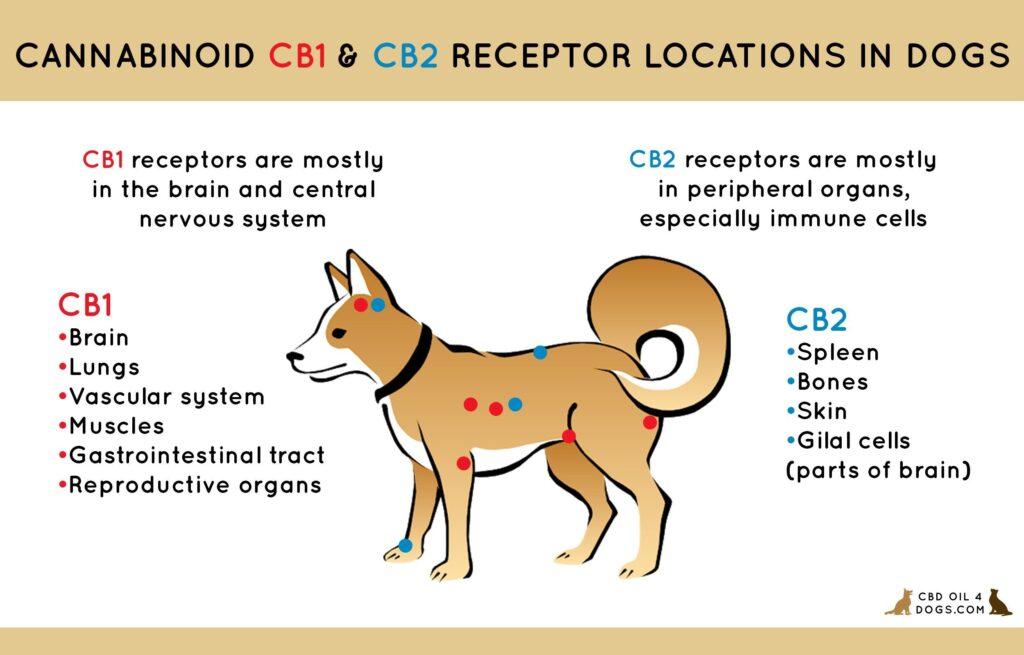 illustrates role of endocannabinoid system receptors, infographic