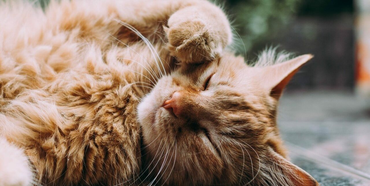 analogizes a feline contented by having been administered cbd for cats